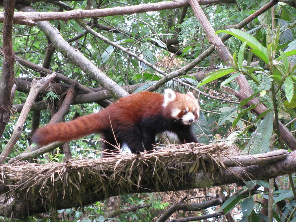 Darjeeling Padmaja-Naidu-Himalayan-Zoological-Park